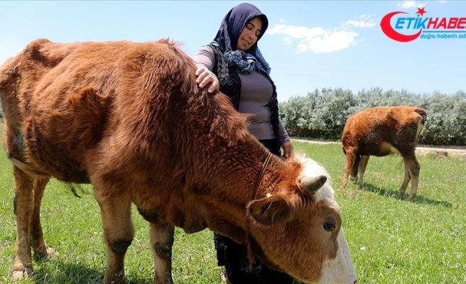 Devlet desteğiyle başladığı hayvancılıkla çocuklarını okutuyor