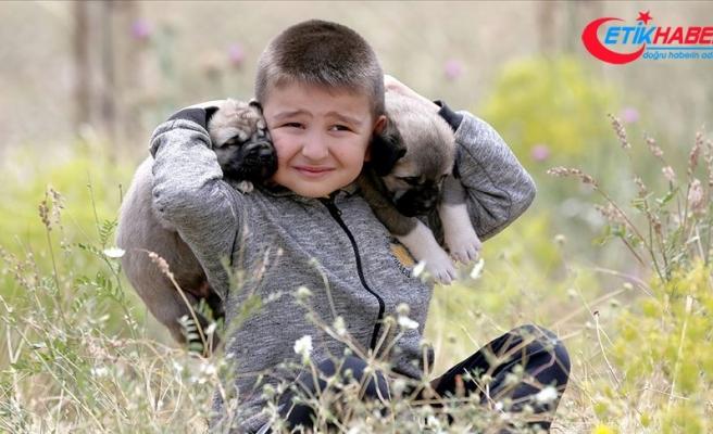 Kangal köpekleriyle büyüyor