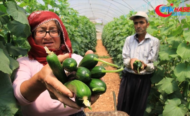 Mersin'de salatalık hasadı 'buruk' başladı