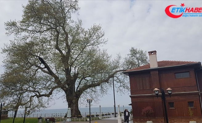 Tarihe tanıklık eden 9 bin 369 ağaç tescillendi