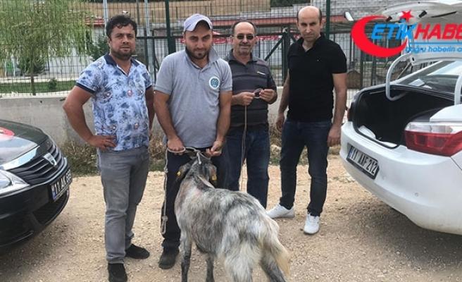Arefe günü sahibininden kaçan kurbanlık teke bulunarak sahibine teslim edildi