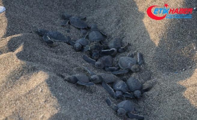 40 binin üzerinde yavru kaplumbağa denizle buluştu