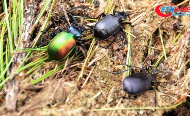 Ormanlar 'terminatör böceklere' emanet