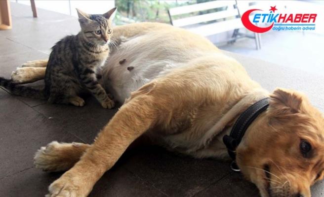 Annesinin terk ettiği kediyi Tarçın emziriyor