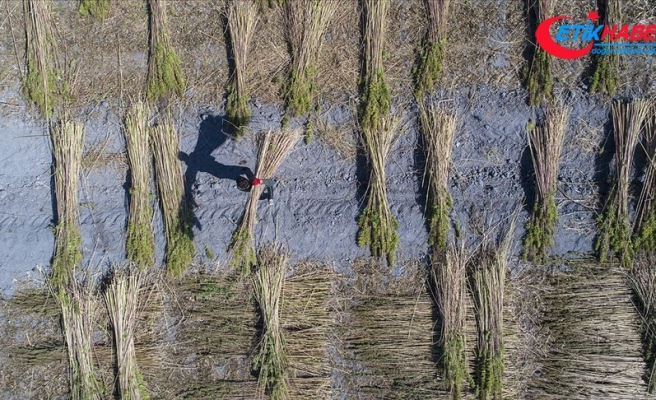 Kenevir ekim alanı 5 kat arttı