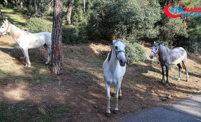 Adalar'da itlaf edilen 105 atın sahipleri hakkında suç duyurusunda bulunuldu