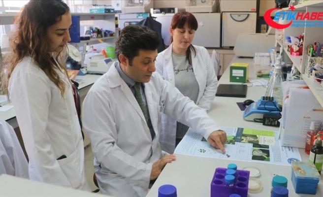 'Vampir kelebek' ile mücadele için yerli ilaç geliştirildi