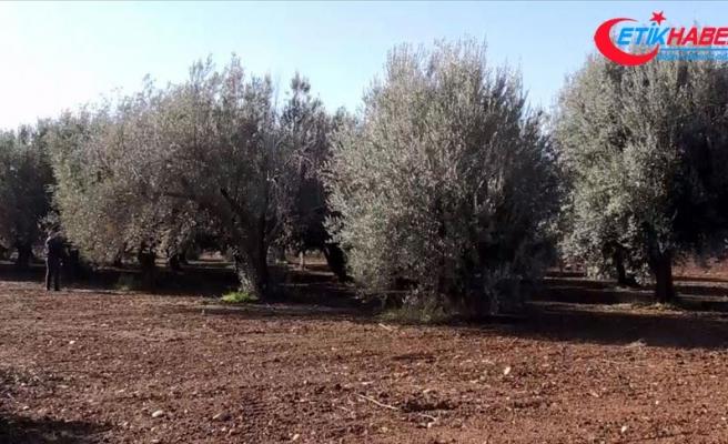 Farklı zeytin ağaçlarının bir arada olması verimi yüzde 30-35 artırıyor
