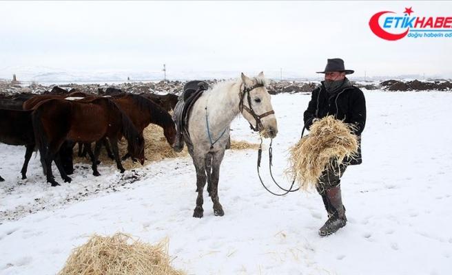 Doğa fotoğrafçılarının tutkusu olan yılkı atlarını elleriyle besliyor