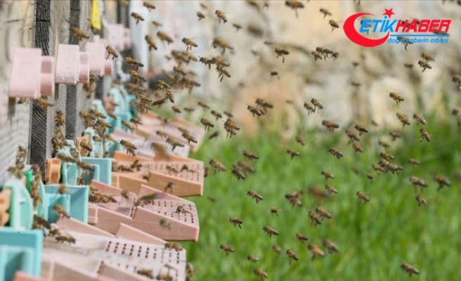 Ekolojik dengenin odağındaki hayvan: Bal arısı