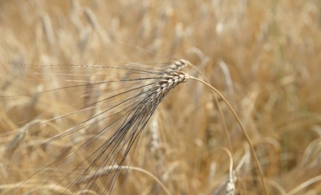 Bakanlık, Türkiye'nin buğday iç tüketiminin tamamen yerli üretimden karşılandığını açıkladı