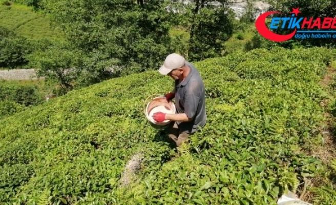 Çay üreticileri bu kez gübreleme için çay bahçesine girdi