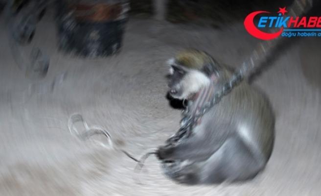 Hindistan'da 1 kişiyi öldürüp, 249 kişiyi yaralayan maymuna ömür boyu hapis cezası