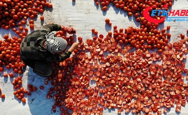 İtalya'nın pizzasına, ABD'nin hamburgerine Torbalı domatesi