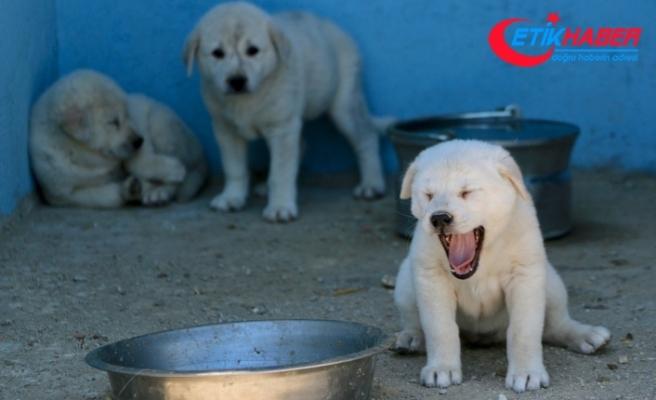 'En iyi sürü bekçi köpeği' modern tesiste yetiştirilecek