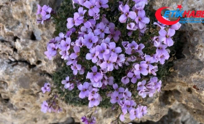 Nesli tükendiği sanılan bitki 'Bakır Kazteresi' yeniden bulundu