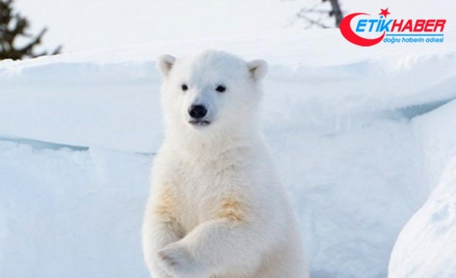 Norveç'te kamp alanına saldıran kutup ayısı, bir kişiyi öldürdü