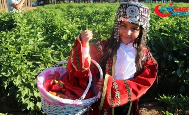 Şanlıurfa'da 'isot' hasadı devam ediyor