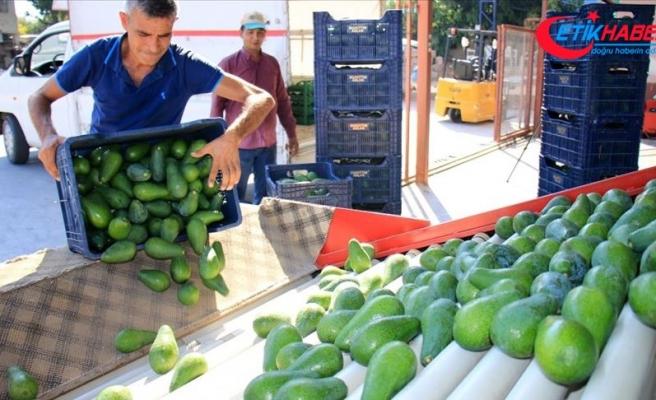 Avokado Mersinli çiftçilerin yüzünü güldürüyor