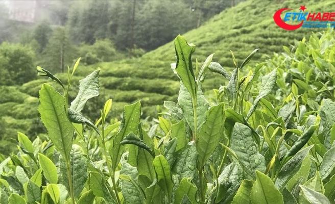 ÇAYKUR üçüncü sürgünde 50 bin ton yaş çay aldı