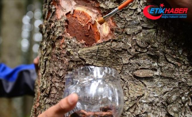 Karadeniz'deki üç ilde ladin ormanlarını 40 bin faydalı böcek koruyacak