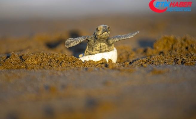 Patara'da 13 bini aşkın caretta caretta yavrusu denizle buluştu