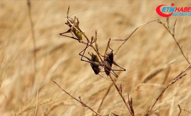 Etiyopya'da çöl çekirgeleri tarlaları istila etti