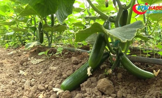 Sakarya Nehri'nin hayat verdiği seralarda son salatalık hasadı