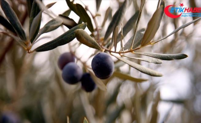 Tarım ve Orman Bakanlığından 'zeytin desteğinin ödenmediği' iddialarına yanıt