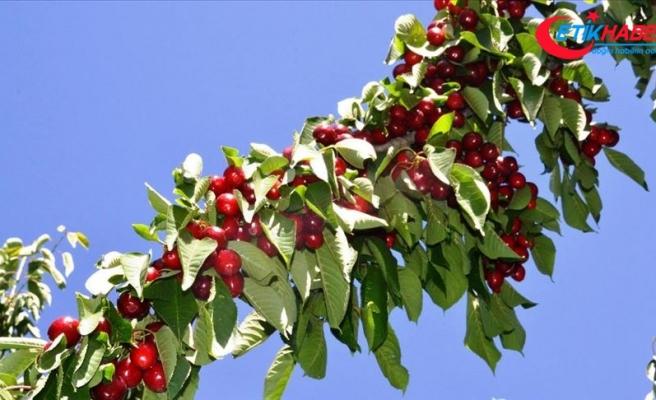 Türkiye'nin yaş meyve ve sebze ihracatında ilk sıraları 'kiraz-vişne' ile 'domates' aldı