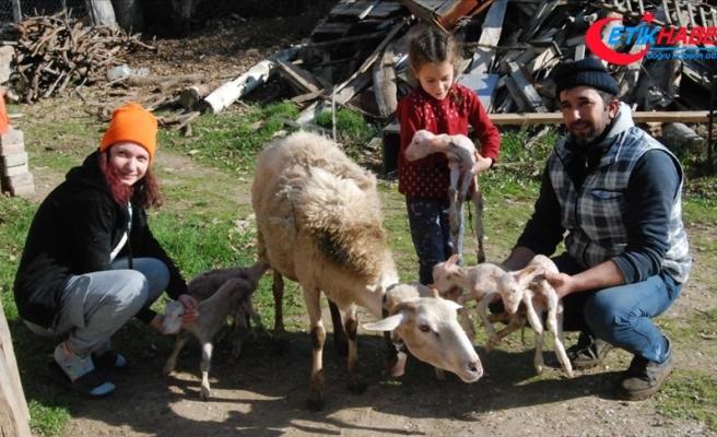 Bayramiçli üreticinin koyunu tek batında altı kuzu doğurdu