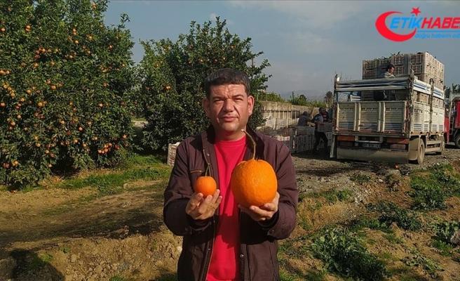 Adana'da 1 kilo 260 gramlık portakal görenleri şaşırttı