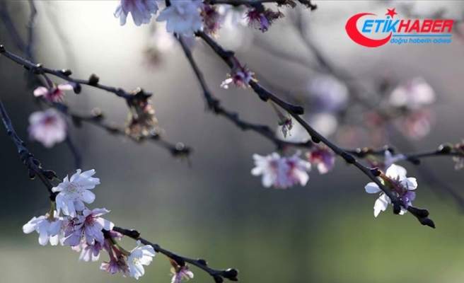 Baharın müjdesi cemrelerin ilki 19-20 Şubat'ta havaya düşecek