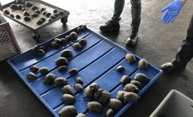 Ekvador'da valizden plastiğe sarılı 185 bebek kaplumbağa çıktı