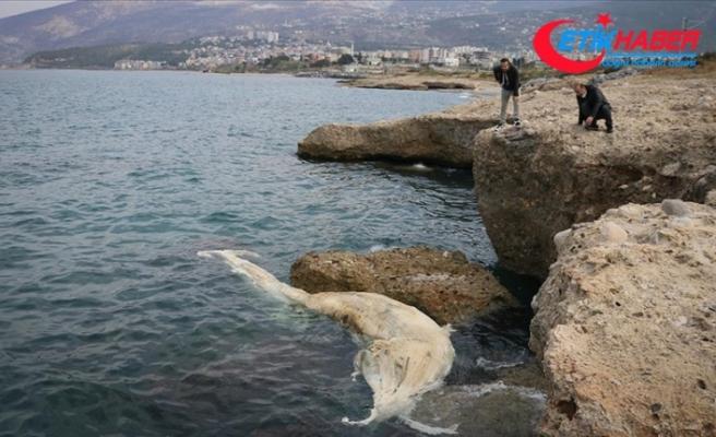 İskenderun Körfezi'nde görülen 12 metre uzunluğundaki ölü balina yavrusu kıyıya vurdu