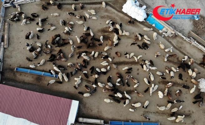 Baharın müjdecisi kuzuların anneleriyle buluşması renkli görüntüler oluşturuyor