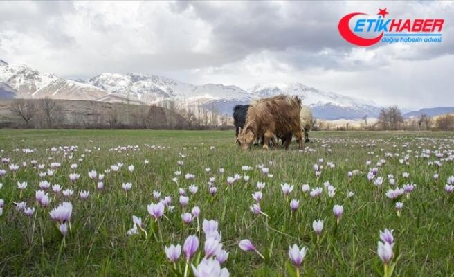 Tunceli baharın müjdecisi çiçeklerle renklendi