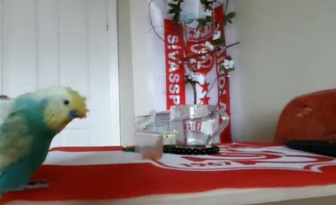 Sivasspor aşığı muhabbet kuşu tezahüratlarıyla dikkat çekiyor