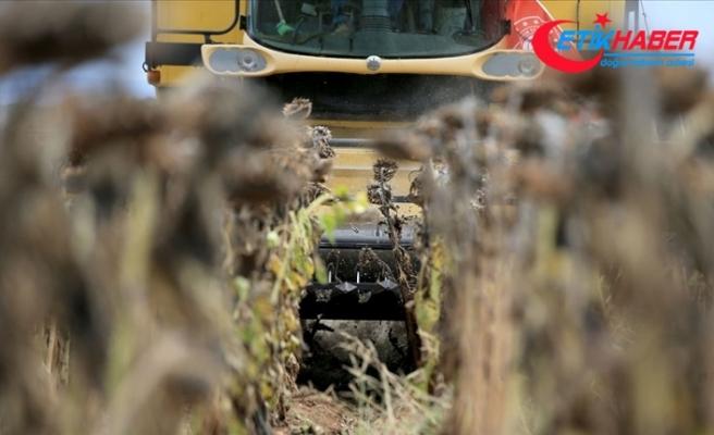 Trakya'da kuraklık nedeniyle ayçiçeği verimi azaldı