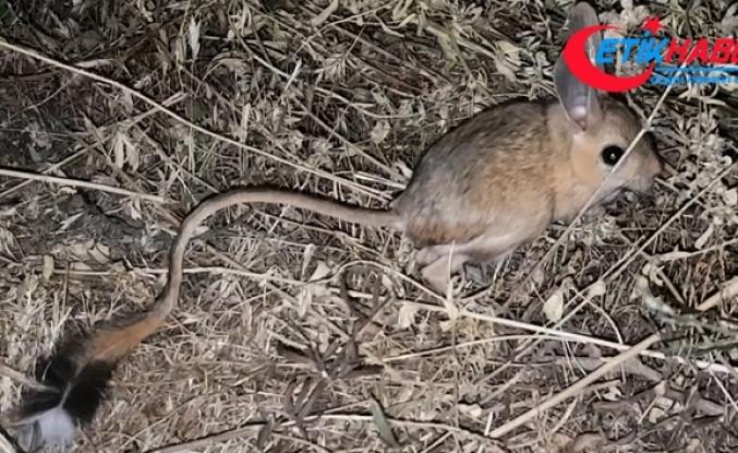 Bitlis'te görülen kanguru faresi şaşırttı