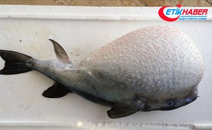 Balon balıklarını amatör balıkçıların avlamasına izin yok