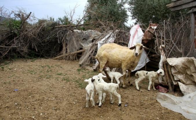 Bir batında 7 kuzu doğuran koyun şaşırttı