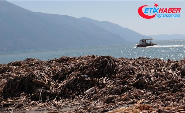 Hatay'da Asi Nehri sularının getirdiği su sümbülleri, denizden ve sahilden toplanıyor